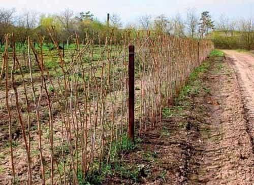 Посадка малины весной: советы начинающим