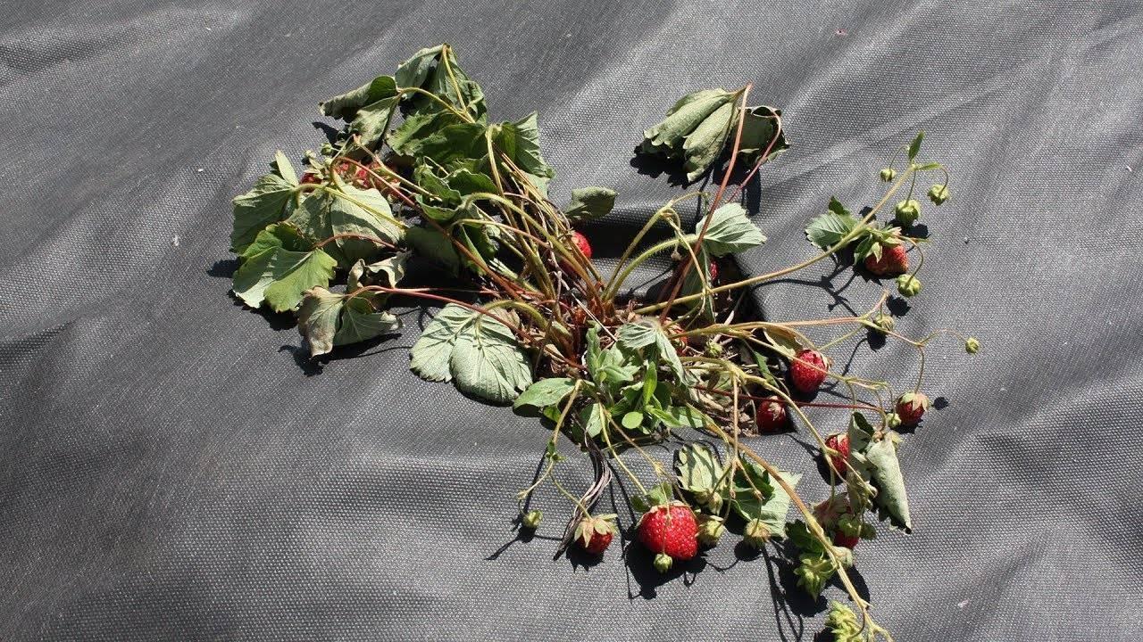 Почему у клубники сохнут листья. у клубники сохнут ягоды: что это значит и что с этим делать
