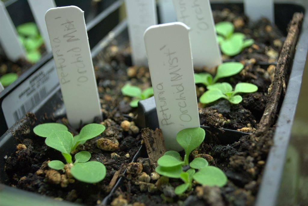 Как сажать петунию на рассаду со снегом: пусть ваша рассада петунии будет шикарной! | красивый дом и сад