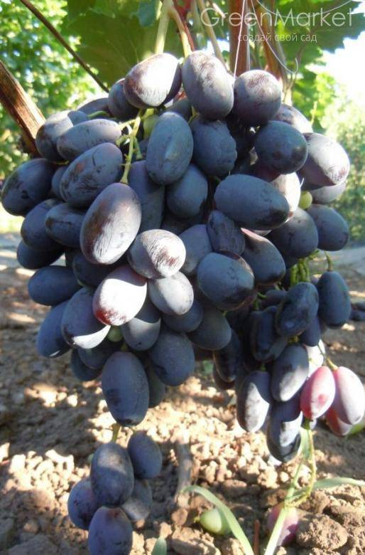 Изумительно вкусный виноград «велика»: описание сорта и его особенности