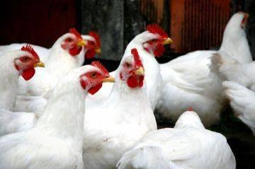 Инструкция по применению метронидазола для птиц