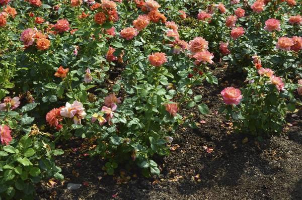Что делать если роза не дает почек. в каких случаях и почему не растут розы после посадки. подготовка к зиме: как не навредить растению