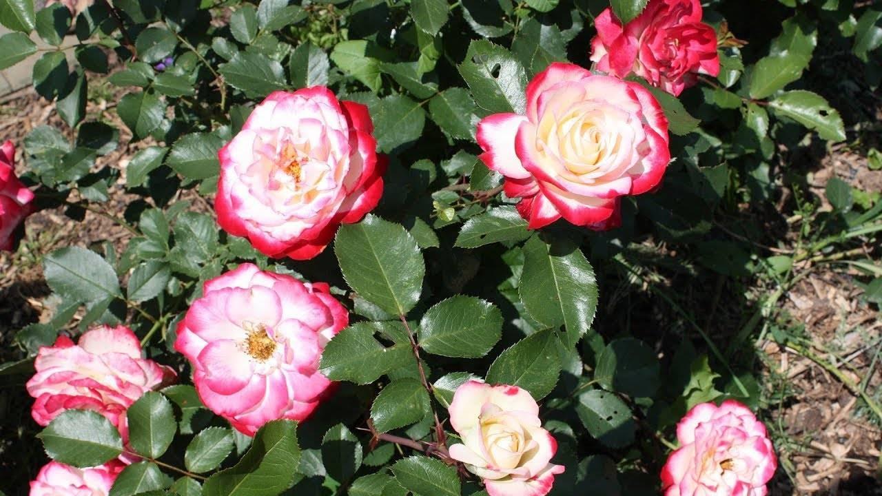 Маленький сад: как посадить розы