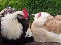 Порода кур Фавероль: описание и характеристика, как отличить пол цыпленка