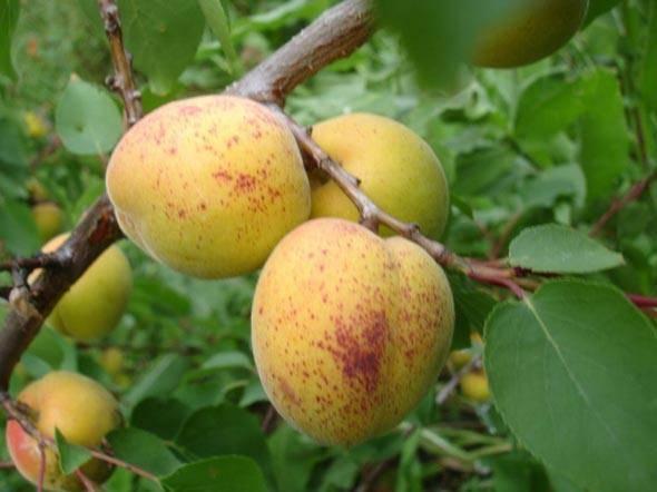 Абрикос медовый: отличный вкус и украшение сада