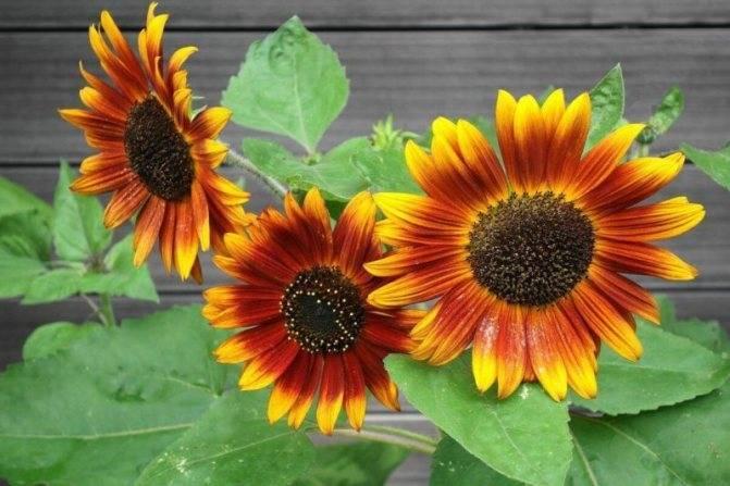 Как правильно выращивать декоративный подсолнух? советы для начинающих