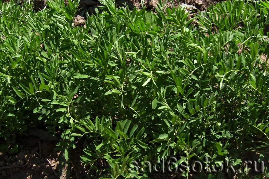 Чечевица – выращивание, свойства применение