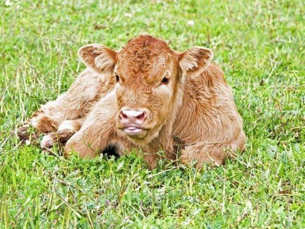 Такие разные «волосатые» и пушистые коровы. пушистые коровы: описание мохнатой породы крс