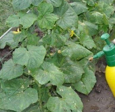 Подкормка огурцов в открытом грунте: виды эффективных удобрений и способы