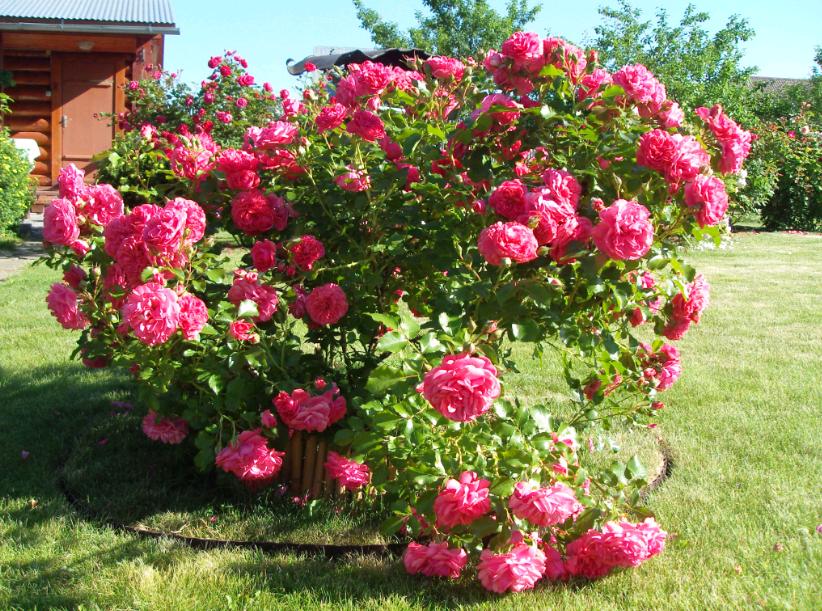 Почему не цветет комнатная роза и что делать
