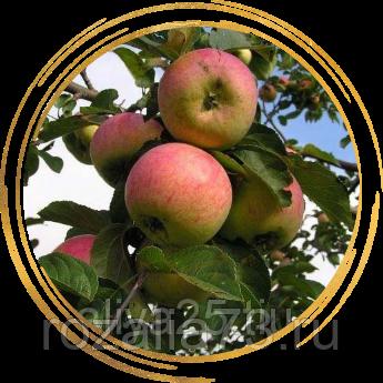 Краса и гордость поволжья — яблоня анис алый