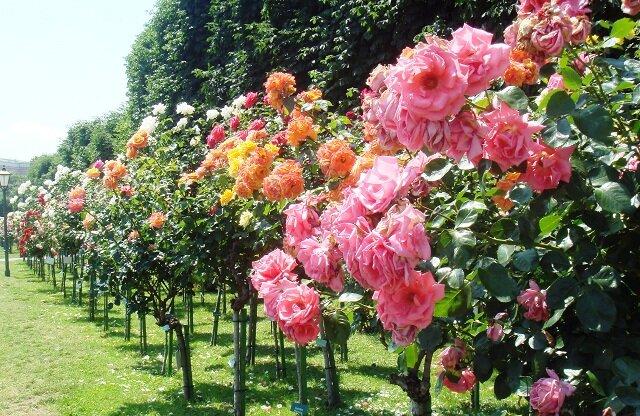 Как ухаживать за розами осенью, чтобы правильно подготовить к зиме