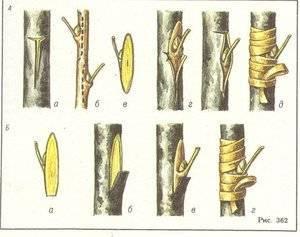 Как привить яблоню весной, летом или осенью? правильная прививка яблонь