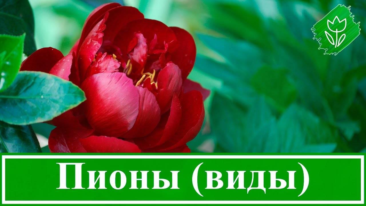 Травянистые пионы — фавориты на все времена