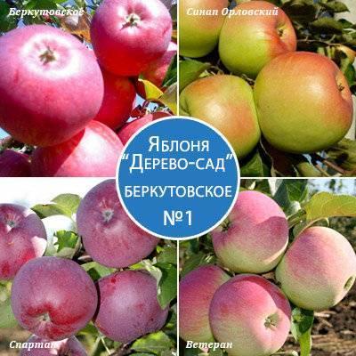 Яблоня беркутовское: инструкция по посадке и уходу, описание сорта