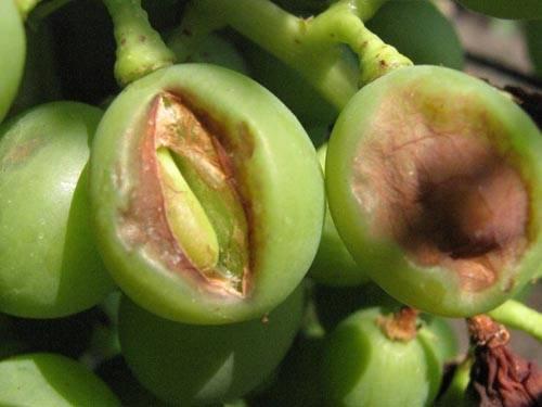 Мильдью (милдью) и оидиум — частые враги винограда. как бороться с этими грибковыми болезнями