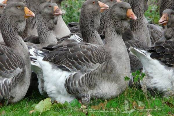 От чего зависит яйценоскость гусей
