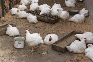 Как и чем кормить бройлерных цыплят в домашних условиях - старт - откорм - финиш