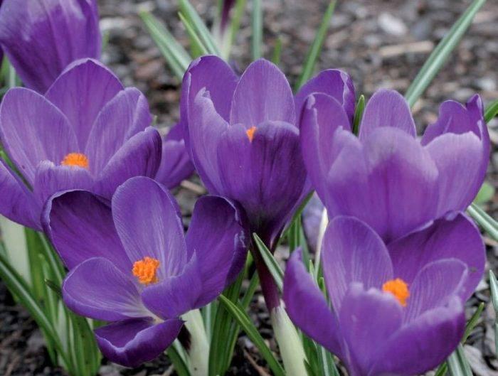 Цветы крокусы: посадка и уход в открытом грунте, фото, выращивание, когда выкапывать