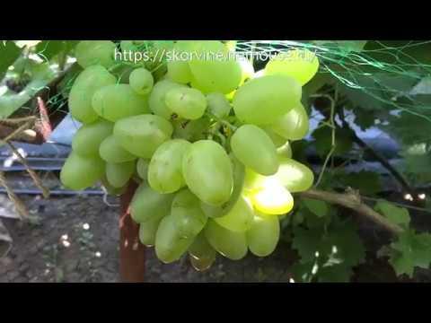 Описание сорта винограда «бажена»