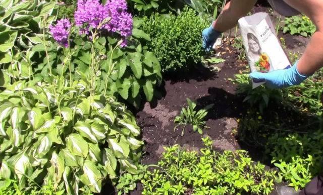 Секреты весенне-летних подкормок для пышно цветущих флоксов: читаем все нюансы