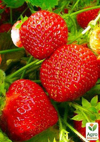 Агротехника выращивания клубники «машенька»: описание сорта, советы по посадке и уходу