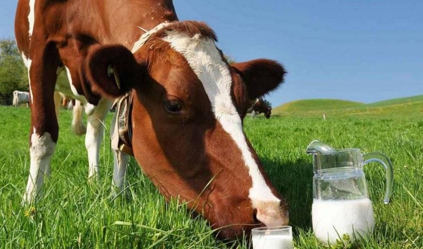 О коровьем молоке: сколько в среднем в день дает молока, как определить жирность