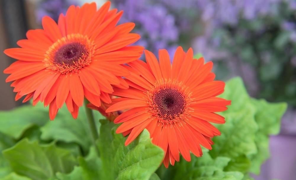 Какие посадить сорта садовой ромашки и как ухаживать — подробное описание
