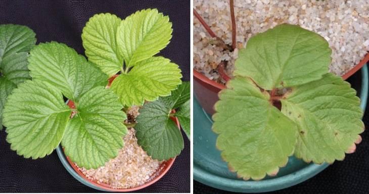 Почему сохнут ягоды у клубники что делать. почему сохнут листья у клубники