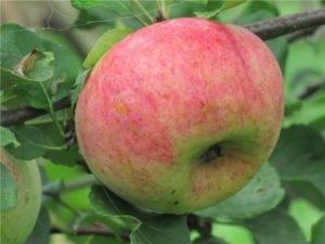Высококлассная яблоня ауксис: отзывы, описание, фото