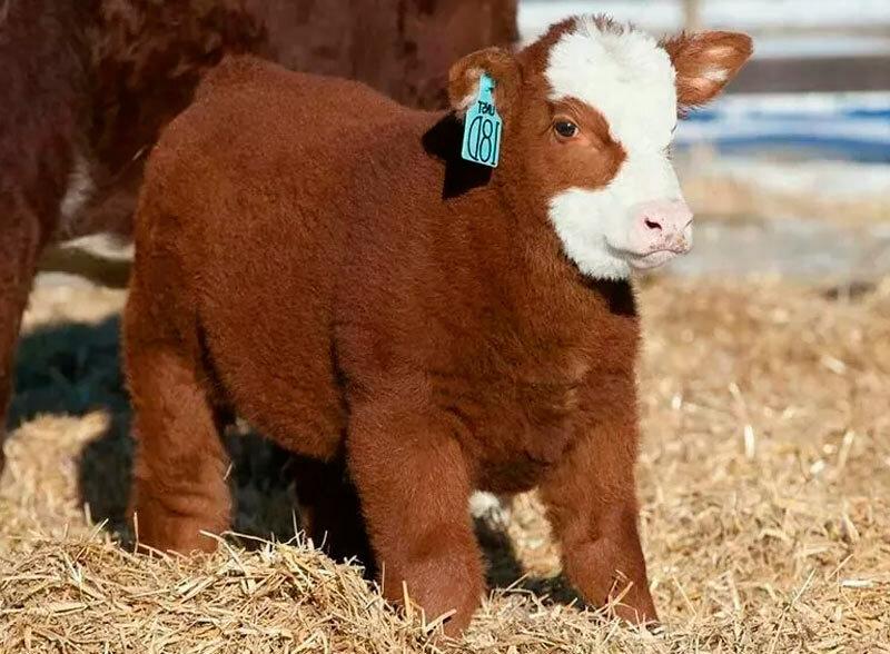 Пушистые или плюшевые породы коров