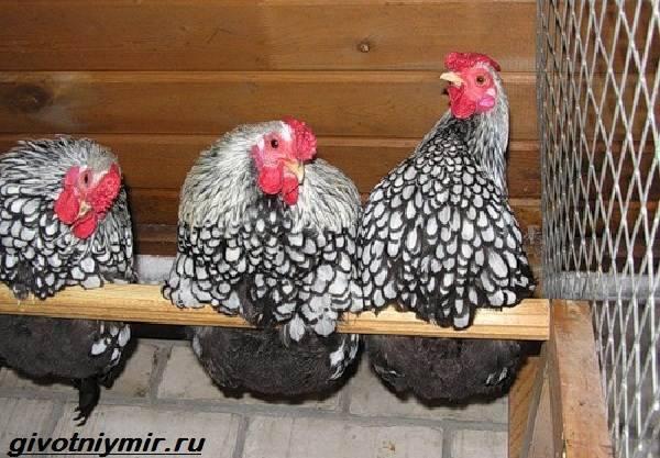 Петушок или курочка: интересные методы определения пола у кур