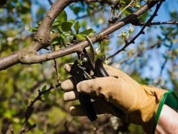 Вишня драгоценный кармин: описание сорта и правила выращивания