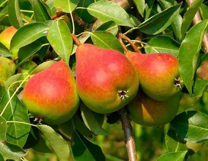 Ясень: где растет и как выглядит, фото и описание дерева