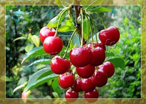 Самые лучшие сорта вишни для подмосковья и средней полосы россии: фото, описание и характеристика