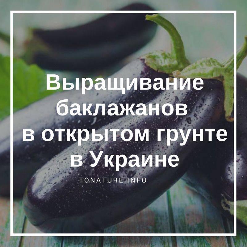 Специфика выращивания баклажанов в теплице
