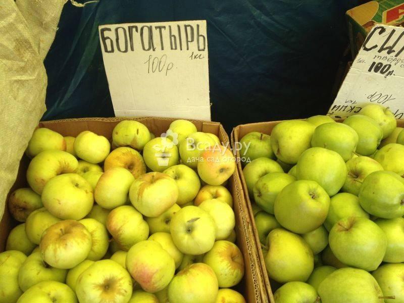 Сажаем и выращиваем яблоню богатырь
