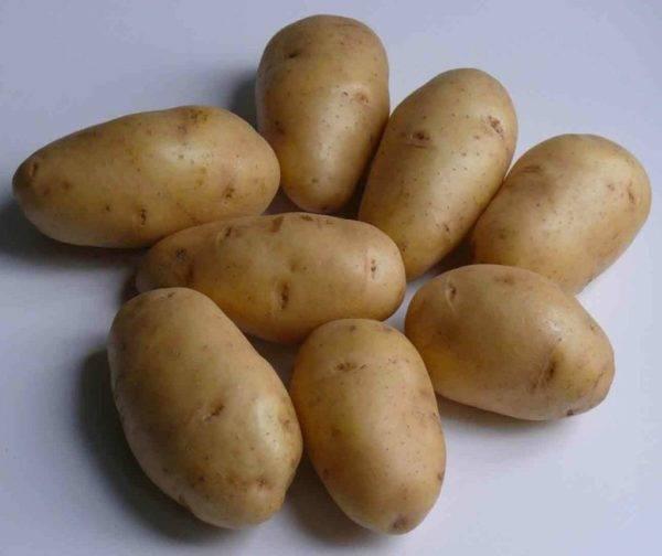 Перспективный голландский картофель таисия: описание сорта, характеристики, фото