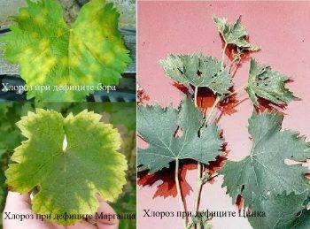 Как и чем лечить хлороз винограда + фото