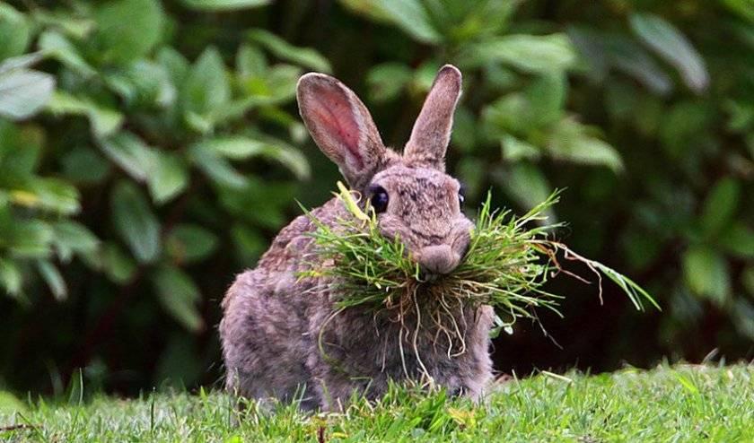 Какую траву можно и нельзя давать кроликам: фото растений