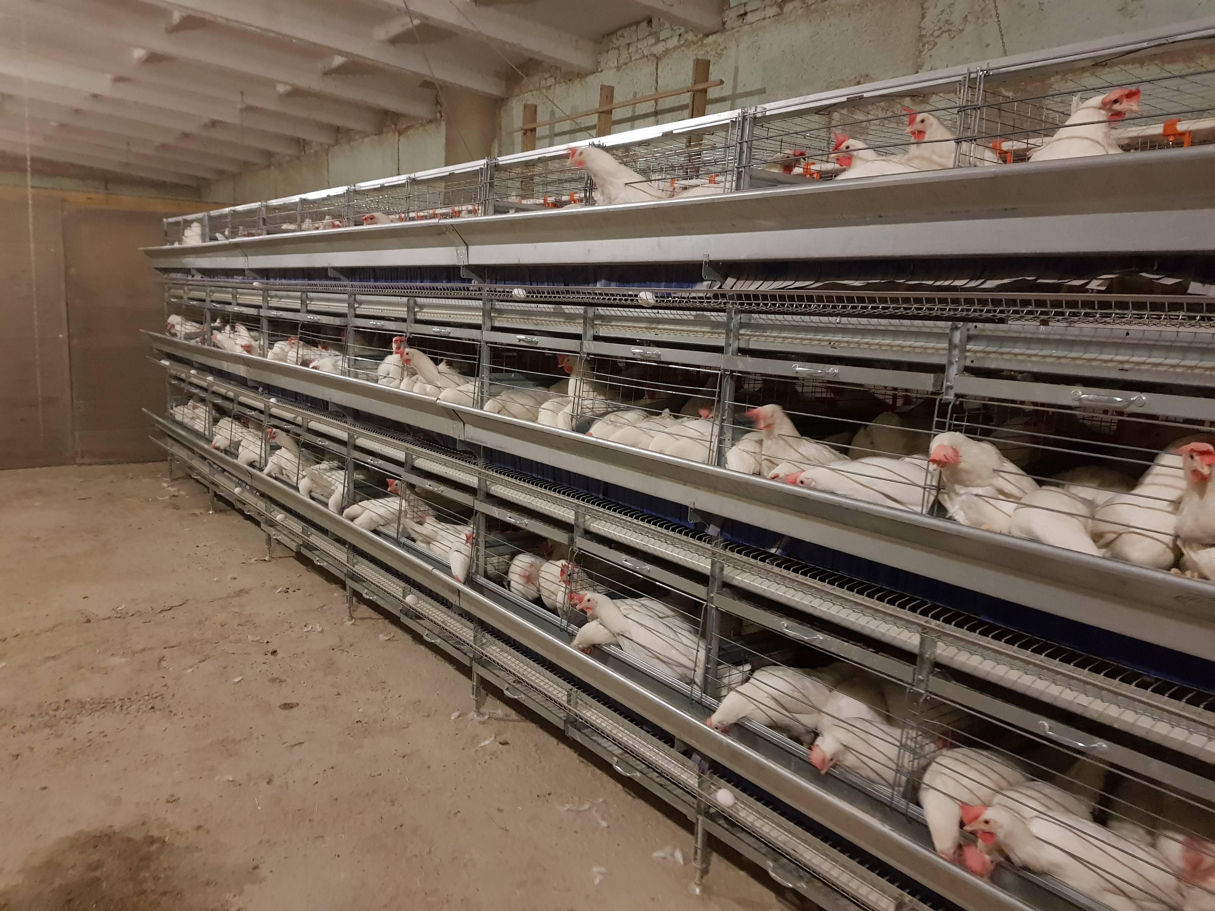Клетки для кур: чертежи, проекты и лучшие модели. советы начинающим фермерам и лучшие модели для домашнего выращивания птицы (90 фото)