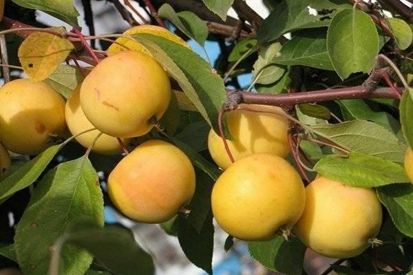 Яблоня «папировка»: описание сорта, фото и отзывы