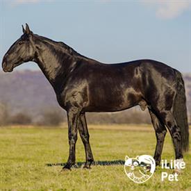 Лошадь карачаевской породы: описание, содержание и разведение
