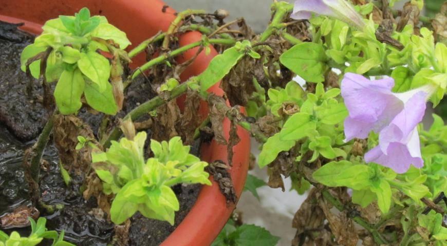 Хлороз петунии: фото и их лечение - чем обработать и как вылечить, чем подкормить