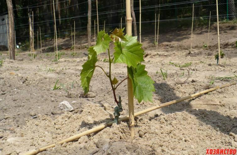 Почему плохо растет виноград, не растет после посадки на постоянное место