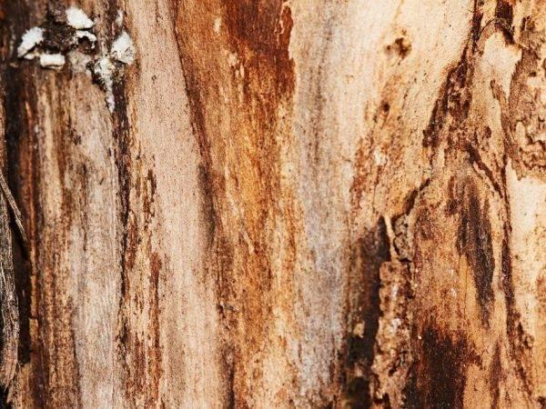 Почему трескается кора на яблонях — что делать и как лечить цитоспороз