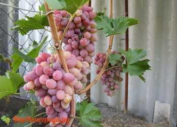 Виноград сорта восторг мускатный: описание, фото, история селекции и характеристики