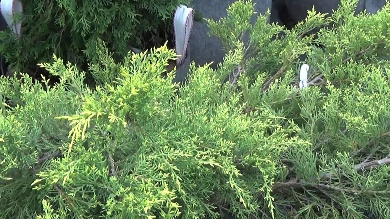 Можжевельник в вашем саду: выбор сортов, особенности посадки и ухода