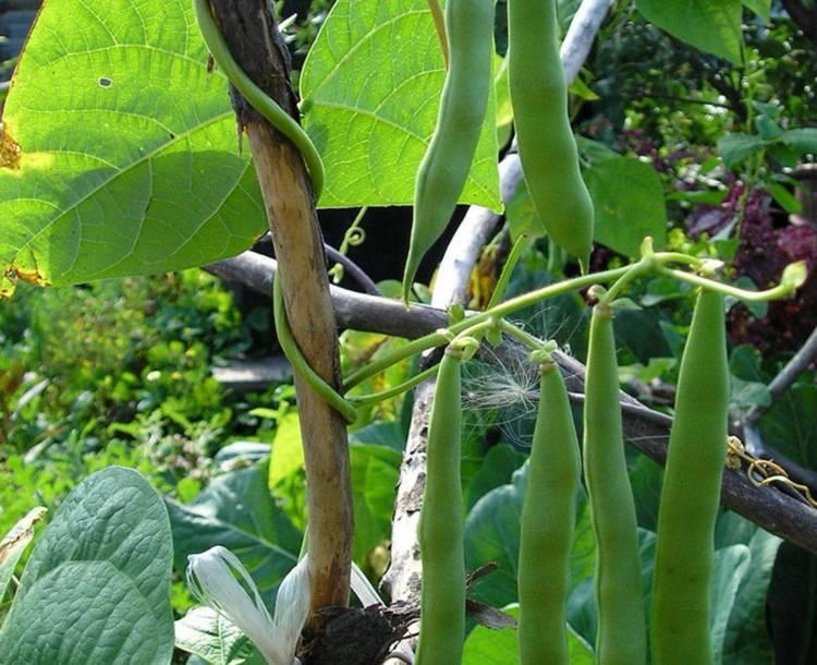 Как выращивать спаржевую фасоль?