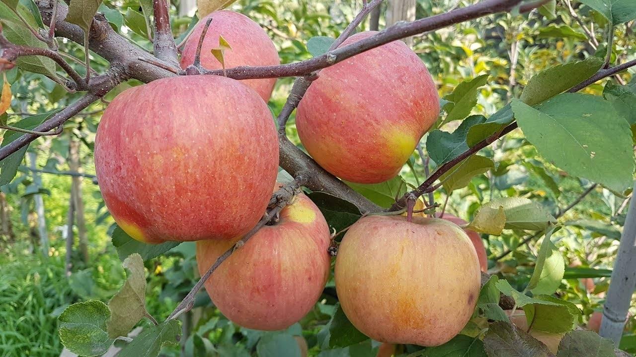 Описание и характеристика сорта и разновидностей яблок фуджи, плодоношение и выращивание